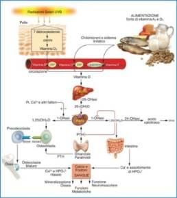 Come funziona la vitamina D: il ciclo della vitamina D